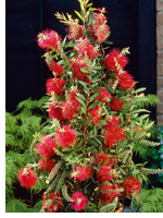Bottlebrush - Callistemon 'Captain Cook'