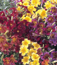 Salpiglossis - orchid-like blooms