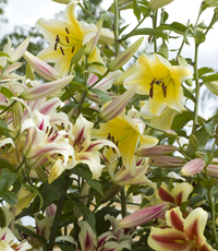 Tree lilies - easy to grow