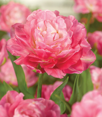 View all flower bulbs here