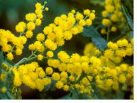 Wattle - Acacia dealbata