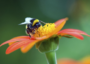 Grow wildflowers and help the bees