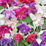 Giant fuchsia offer - five fuchsias for only £5