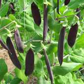 Pea Shiraz - Vegetable of the Year 2012