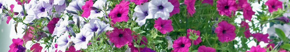 How to Feed Petunias