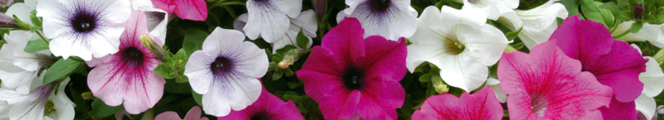 Petunia Photo Competition