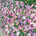 Petunia Ramblin Mixed
