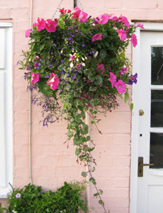 Plants for containers - Plants for hanging baskets