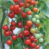 Tomato-sweet-aperitif