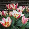 Tulip 'St George'
