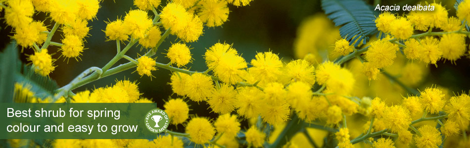 Mimosa, Acacia dealbata - best shrub for spring colour