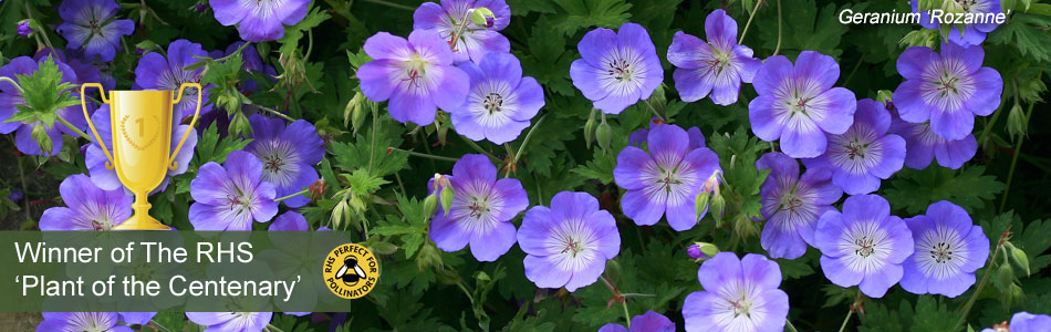 Geranium 'Rozanne', our vote for RHS plant of the Centenary
