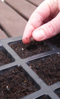 Ensure that seeds are kept evenly moist but do not over-water as this may cause the seeds to rot
