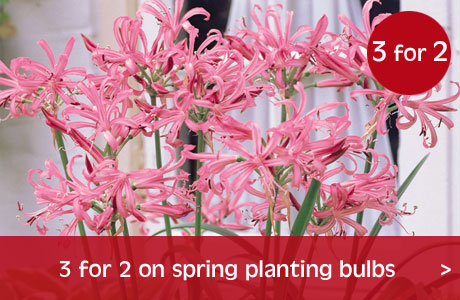 3 for 2 on spring bulbs