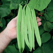 Runner Bean St. George - Vegetable of the Year 2010