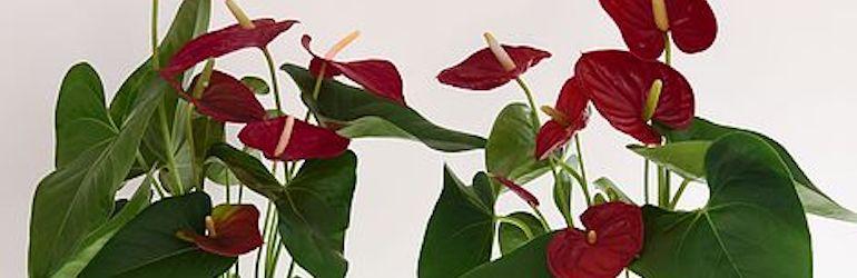 Anthurium Aqua Deep Red in Vase from Thompson & Morgan