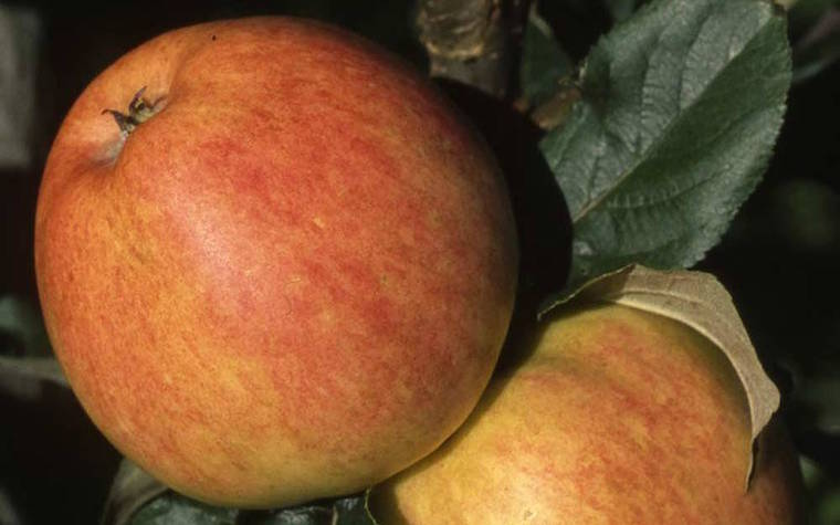 bardsey island scab resistant apples