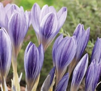 Top 10 Autumn And Winter Flowering Bulbs Thompson Morgan