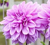 Top 10 autumn and winter flowering bulbs thompson morgan 1 crocus mightylinksfo Gallery