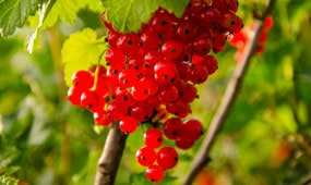 top 10 berries and currants