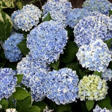 Changing the colour of Hydrangea flowers