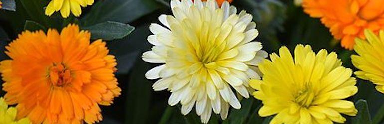 Calendula 'Power Daisy' Collection from Thompson & Morgan