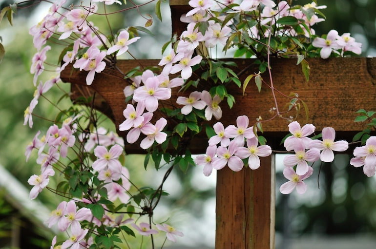 Climbing Plant With Small Pink Flowers Garden Design Ideas