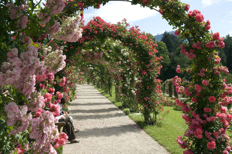Rose Covered Arches Climbing Plants This Path Of Is The Ultimate In Fl Showmanship Image Shutterstock Manfred Ruckszio