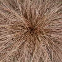 Carex Comans Bronze Ornamental Grass
