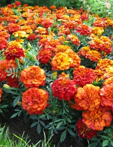 The pungent smell of French marigolds deters whitefly from your tomato plants