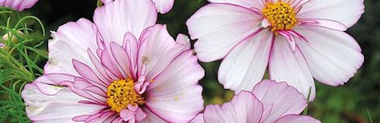 Cosmos bipinnatus 'Sweet Sixteen' by Thompson & Morgan