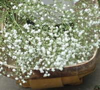 Gypsophila Vase life Up to 7 days