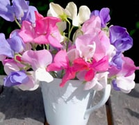 Sweet pea Vase life 3-7 days