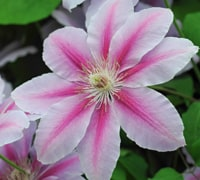 Clematis (large flowered cultivars)