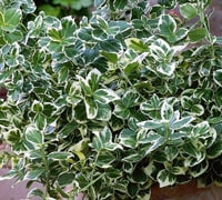 Top 10 evergreen shrubs thompson morgan euonymus sciox Images