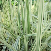 Glyceria Ornamental Grass