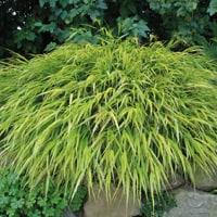 Hakonechloa Ornamental Grass