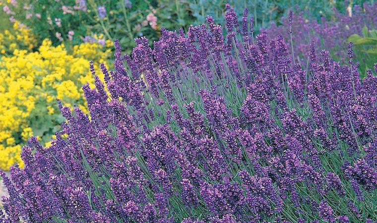 How To Grow Lavender Thompson Morgan