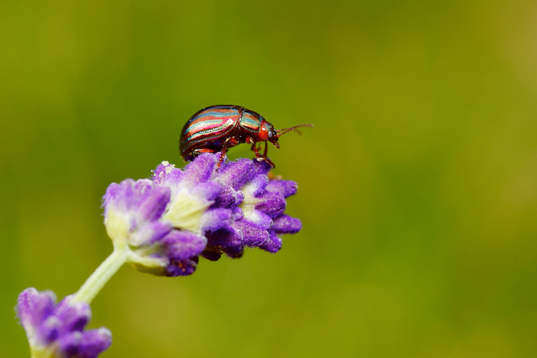 rosemary beetle on lavender flower