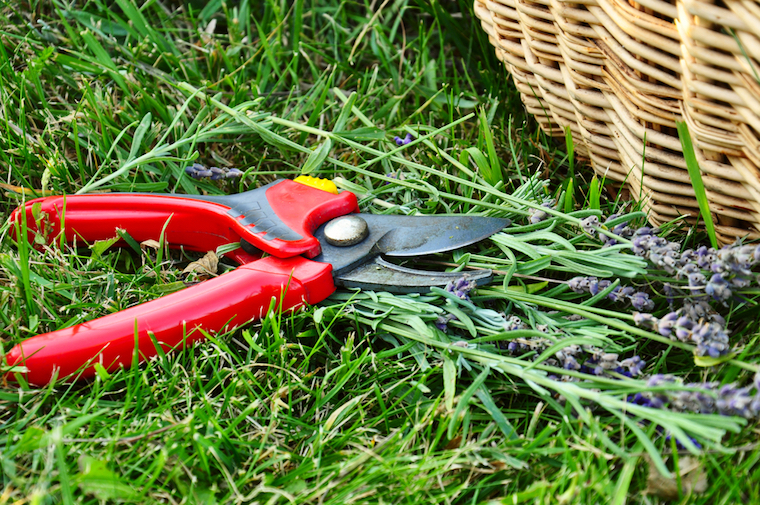 secateurs pruning lavender