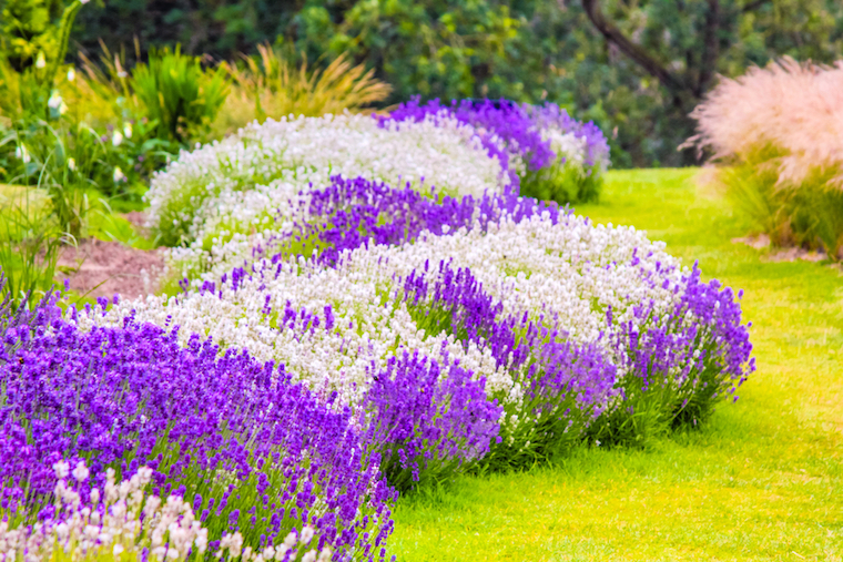 how to grow lavender in a garden
