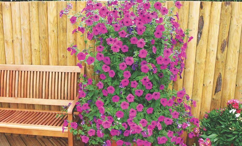 Petunia 'Frenzy Mixed' F1 Hybrid garden ready plants from T&M