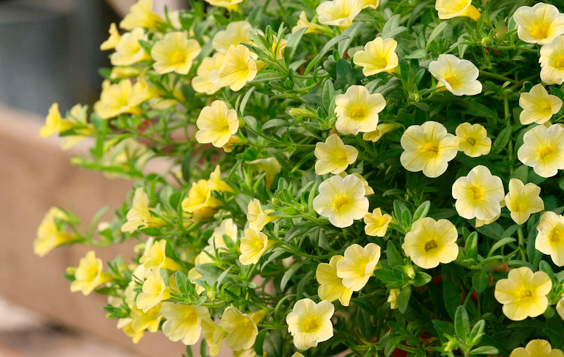 Calibrachoa 'Million Bells Yellow' from Thompson & Morgan