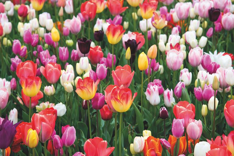 Tulip 'Full Border Mix' from Thompson & Morgan