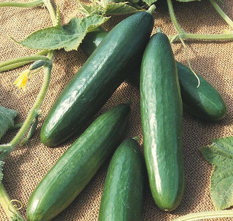 Cucumber 'Diva' from Thompson & Morgan