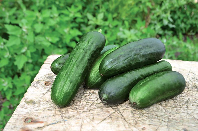 Cucumber 'Swing' F1 Hybrid from Thompson & Morgan