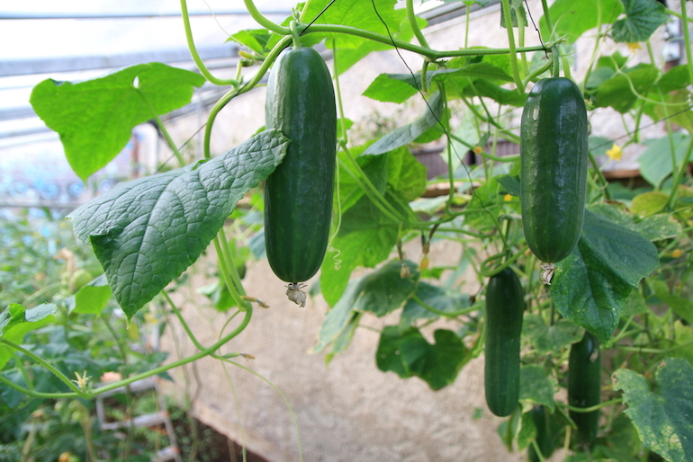 cucumber variety growing indoors