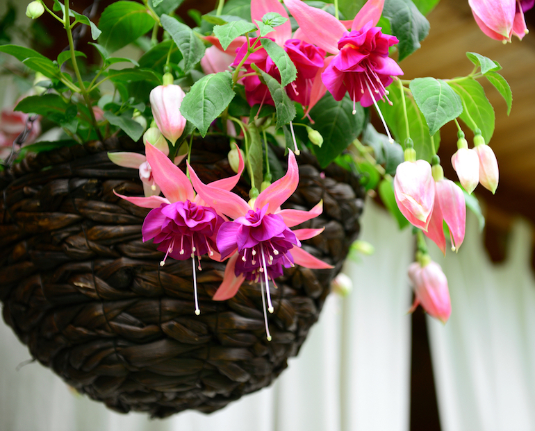 chosen fuchsia in hanging basket