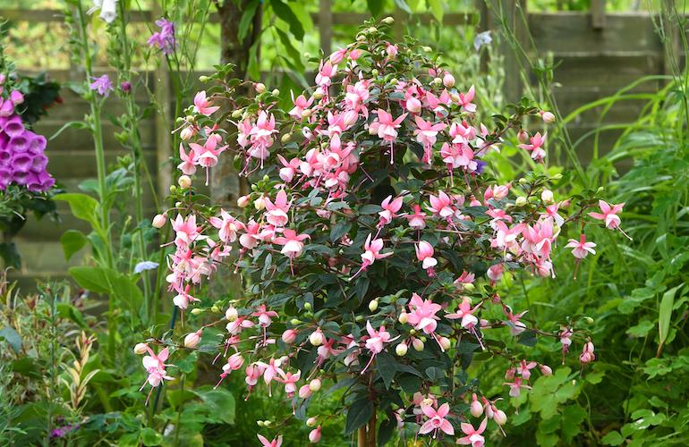 Fuchsia 'Elma' Standard