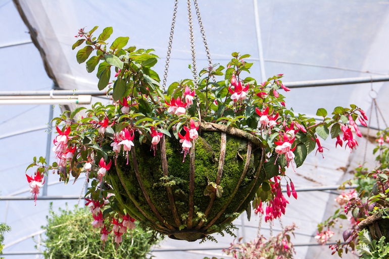 winter care for fuchsias in hanging baskets